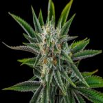 Buy Cannabinoids Online